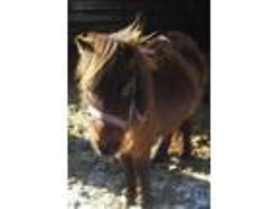 Adopt Tianna a Miniature Horse