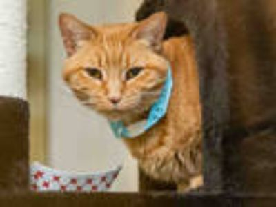 Adopt CHULA a Orange or Red Tabby Domestic Shorthair / Mixed (short coat) cat in