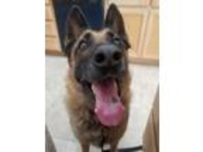 Adopt Faith a Belgian Shepherd / Malinois, German Shepherd Dog