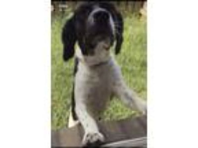 Adopt Papas a Black - with White Australian Shepherd / Labrador Retriever dog in