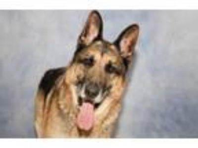 Adopt Oso II a German Shepherd Dog