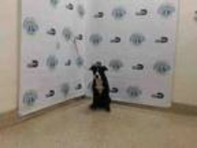 Adopt BARRY a Border Collie, Mixed Breed