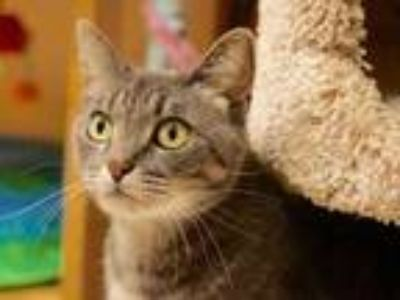 Adopt Jynx a Gray or Blue Domestic Shorthair / Domestic Shorthair / Mixed cat in
