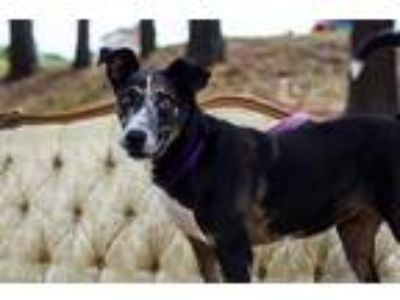 Adopt Baby Girl a Black Catahoula Leopard Dog / Mixed dog in Huntsville
