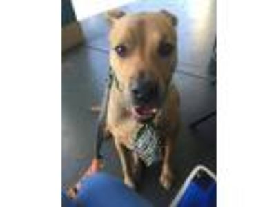 Adopt Tater a Red/Golden/Orange/Chestnut Labrador Retriever / Mixed dog in