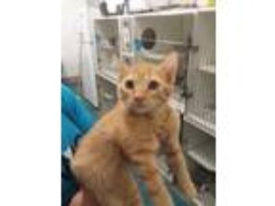 Adopt Ivy a Orange or Red Domestic Shorthair / Domestic Shorthair / Mixed cat in