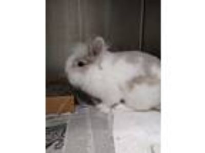 Adopt HENRY a White Lionhead / Mixed rabbit in St. Louis, MO (25592366)