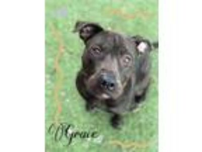 Adopt Grace a Black American Pit Bull Terrier / Mixed dog in Chattanooga