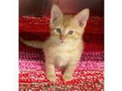 Adopt Ricky a Orange or Red Tabby Domestic Shorthair (short coat) cat in Loudon