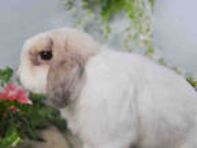 Adopt JOEY a White Mini Lop / Mixed rabbit in Loveland, CO (25345612)