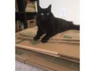 Adopt FRANKIE a All Black Maine Coon / Mixed cat in Forest Hills, NY (23392259)