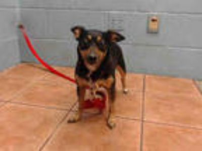 Adopt CHIEF a Black - with Tan, Yellow or Fawn Miniature Pinscher / Mixed dog in
