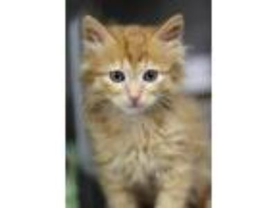 Adopt Jerry a Domestic Long Hair, Domestic Short Hair