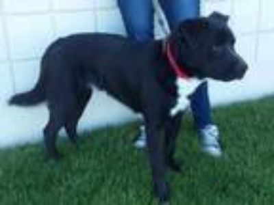 Adopt Bubba a Labrador Retriever