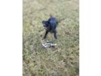 Adopt Nala a Black Pointer / Labrador Retriever / Mixed dog in King George