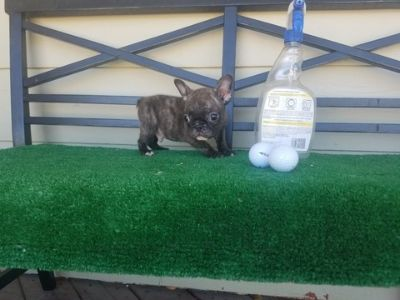 French Bulldog PUPPY FOR SALE ADN-105385 - Micro Mini French Bulldog