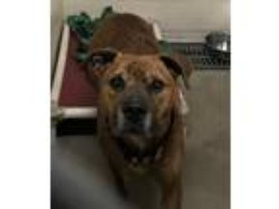 Adopt Hercules a Brindle - with White Labrador Retriever / Boxer / Mixed dog in