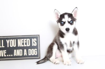Siberian Husky PUPPY FOR SALE ADN-62908 - Bonnie Female Husky Puppy
