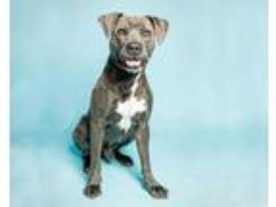 Adopt AZULE a Gray/Silver/Salt & Pepper - with White American Pit Bull Terrier /