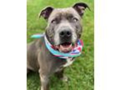 Adopt Bud a Pit Bull Terrier