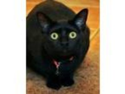 Adopt Tracy Bond a Domestic Short Hair