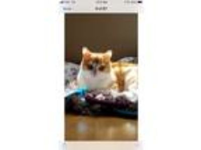 Adopt Blue a Orange or Red Tabby American Shorthair (short coat) cat in Alamo