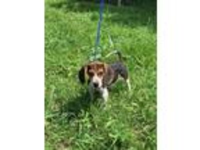 Adopt Barney a Beagle dog in Norristown, PA (25879173)