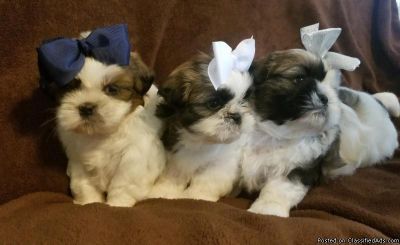 AKc standard Shih Tzu puppies for sale
