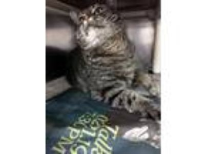 Adopt Hollie a Black (Mostly) Domestic Shorthair (short coat) cat in Las Vegas