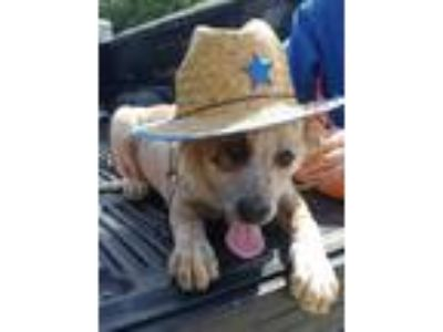 Adopt Tater a Australian Cattle Dog / Blue Heeler