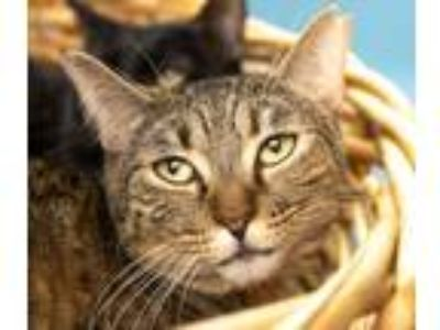 Adopt Pretty Girl a Brown Tabby Domestic Shorthair / Mixed (short coat) cat in