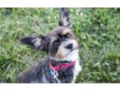 Adopt Toto a Gray/Blue/Silver/Salt & Pepper Mixed Breed (Small) / Mixed dog in