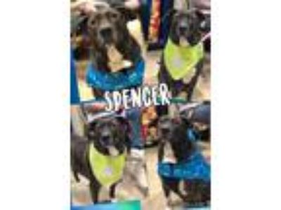 Adopt Spencer a Brindle Plott Hound / Mixed dog in Fenton, MO (22634249)