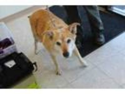 Adopt Honey a Tan/Yellow/Fawn Chow Chow / Mixed dog in Albany, OR (25637603)