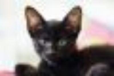 Pan Domestic Short Hair Cat