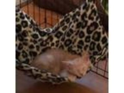 Adopt Timothy a Orange or Red Domestic Shorthair cat in Baytown, TX (24745515)