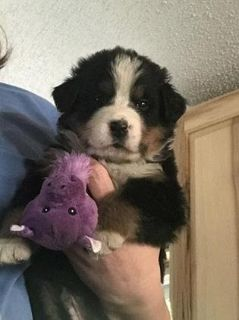 Bersese Mountain Dog Puppy For Adoption