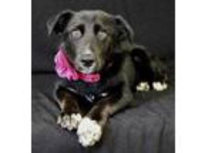 Adopt Callie a Black Australian Shepherd / Labrador Retriever / Mixed dog in