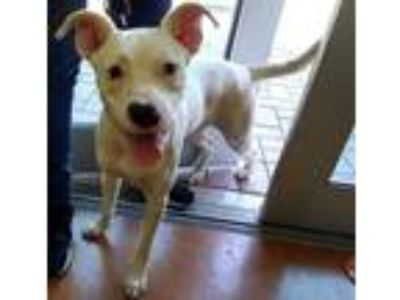 Adopt a White American Pit Bull Terrier / Catahoula Leopard Dog / Mixed dog in