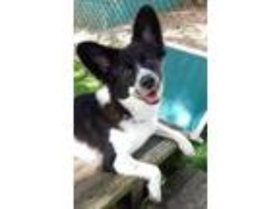 Adopt Lucki a Black Australian Shepherd / Mixed dog in Clearwater, FL (25772894)