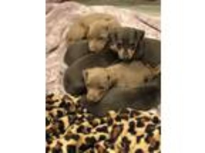 Adopt Miniature Pinscher Puppies a Miniature Pinscher