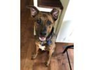 Adopt Swoosh a Brindle - with White Belgian Malinois / Shepherd (Unknown Type) /