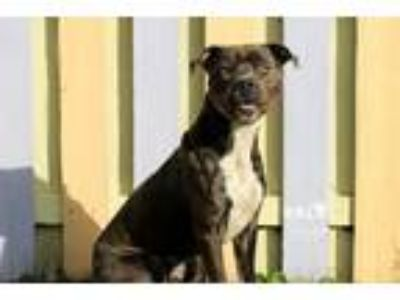 Adopt Richter a Pit Bull Terrier / Mixed dog in Sebastian, FL (25018259)