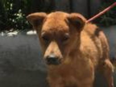 Adopt I1313309 a Red/Golden/Orange/Chestnut Chow Chow / Mixed dog in Pomona