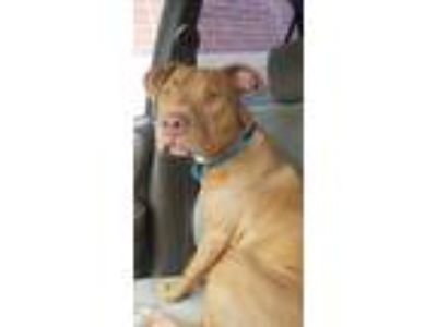 Adopt Bandit a Brown/Chocolate - with White Pit Bull Terrier / Mixed dog in