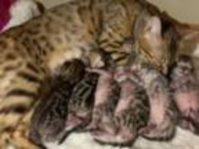 Registered Bengals Bengaltime