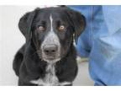 Adopt Potter 26548 a Labrador Retriever, Border Collie