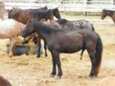 Adopt NE 3835 - Black Sabbith aka Ozzy a Mustang