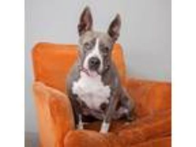 Adopt Layla a Gray/Silver/Salt & Pepper - with White American Staffordshire