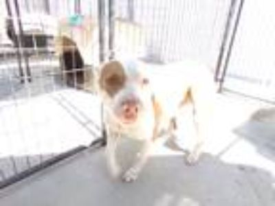 Adopt Buttercup a Brown/Chocolate - with White American Pit Bull Terrier / Mixed